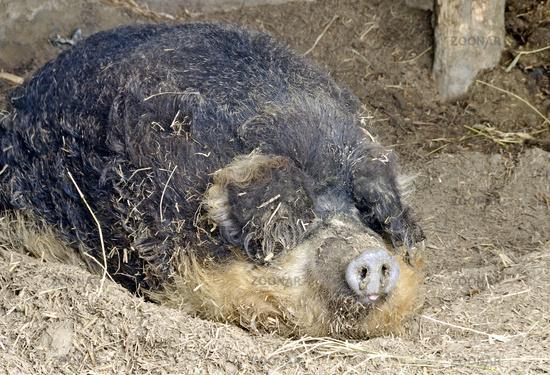 sleeping hungarian woolly pig