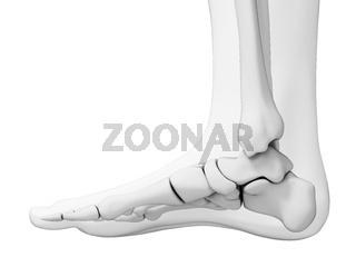 3d rendered illustration - skeletal foot