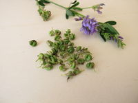 Alfalfa with flowers and seeds in spiralled fruits
