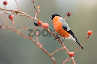 Male eurasian bullfinch sitting on rosehip in autumn.