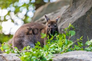 Red-necked Wallaby, australian kangaroo