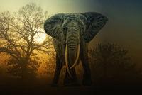 african elephant during sunrise