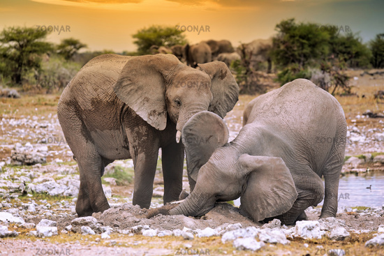 elephants at a termite hill, Etosha National Park, Namibia, (Loxodonta africana)