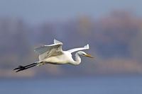 Great Egret has a slow flight, with his neck retracted, called s-shaped