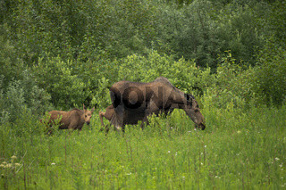 Moose Calves follow their Mother Cow through the Brush into the Woods