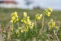 Cowslips glow and bloom - sky keys, primrose