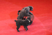 Trained poodles performing in circus arena. Trained dogs in circus. Amusing dogs. Three poodles