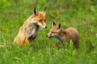 Red fox cub exploring surroundings with its mother sitting behind and guarding