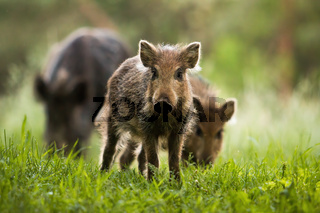 Attentive wild boar piglet with stripes watching on summer meadow