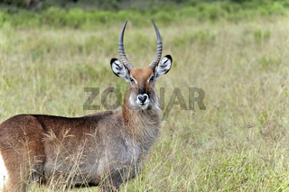 Wasserbock Antilope, Lake Nakuru Nationalpark
