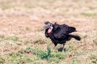 bird Abyssinian ground hornbill Ethiopia wildlife