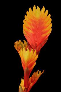 Bromelie (Bromeliaceae)