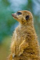 meerkat or suricate, Suricata suricatta