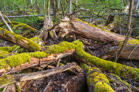 Old rotten tree trunks with moss