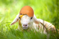 lamb with egg