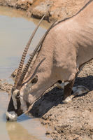 Oryx antelope drinks at the waterhole in northern Namibia