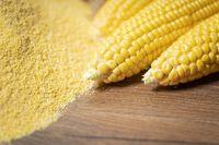 Ripe young sweet corn cob and cornmeal close up