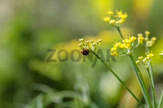 Close up of a lady bug on a yellow flower