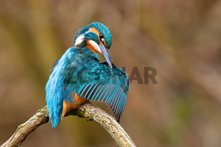 Cute common kingfisher male cleaning feathers with long black beak in spring