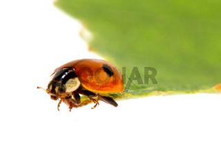 Ladybug on a leafle