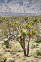 Joshua Tree National Park in California with Joshua trees thriving on arid land