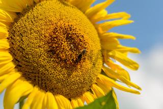 Biene befruchtet leuchtende Sonnenblume - Nahaufnahme Bestäubung