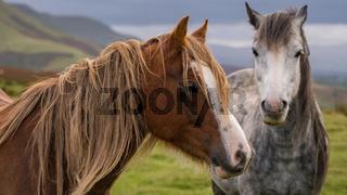 Wild horses in Wales, UK