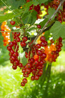 Red currant at the shrub
