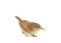 European wren isolated in white background