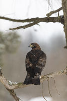 Steinadler, Aquila chrysaetos, golden eagle