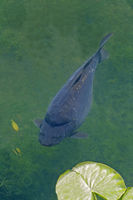 Common Carp just below the surface of the water