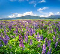 beautiful field of lupine flowers