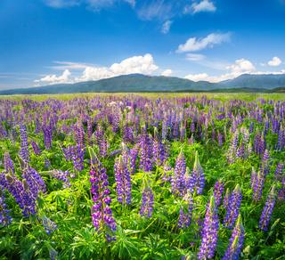 beautiful field of lupine flowers