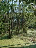 Trees standing in water full of duckweed (lemna minor) in a german swamp area