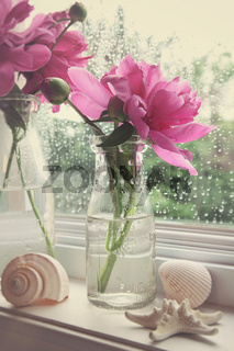 Peony flowers in milk bottles in the window