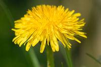 Yellow dandelion - close up