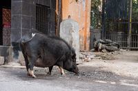 Big boar drinks water from a dirty puddle