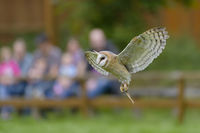 Barn Owl at Falconer, Tyto alba