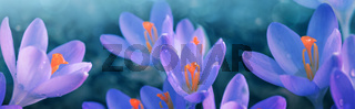 Spring background with close-up of a group of blooming purple crocus flowers .