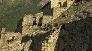 llamas and the ruins at machu picchu
