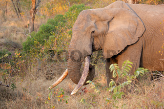 African elephant tusker