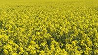 Flowering rapeseed field, Brassica napus, Germany