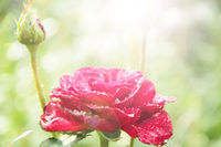 Red rose in garden in sunlights on blurry green background. Copy space with natural background