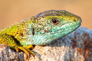Close-up of european green lizard male with blue throat at sunset