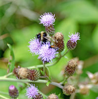 bumblebee sitting on a thistle