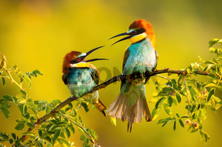 Two european bee-eater sitting on branch in summer.