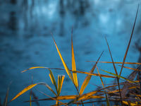 Leaves of coastal reeds over a small pond