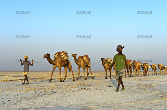 caravan loaded with rock salt slabs on the Assale Salt Lake, Danakil Valley, Ethiopia