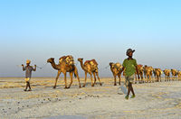 caravan loaded with rock salt slabs on the Assale Salt Lake, Danakil Valley, Ethiopia