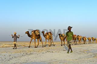 mit Steinsalzplatten beladene Dromedar-Karawane auf dem Assale Salzsee, Äthiopien